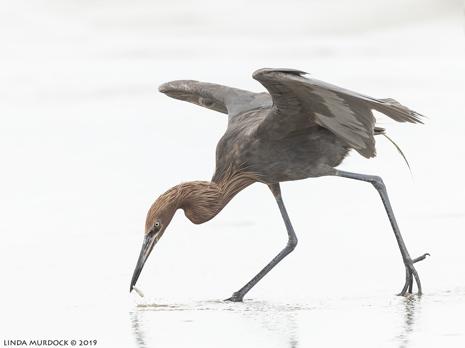 Reddish Egret doing his thing Nikon D850 with Nikkor 500 f/5.6 PF VR ~ 1/2000 sec f/6.3 ISO 1250