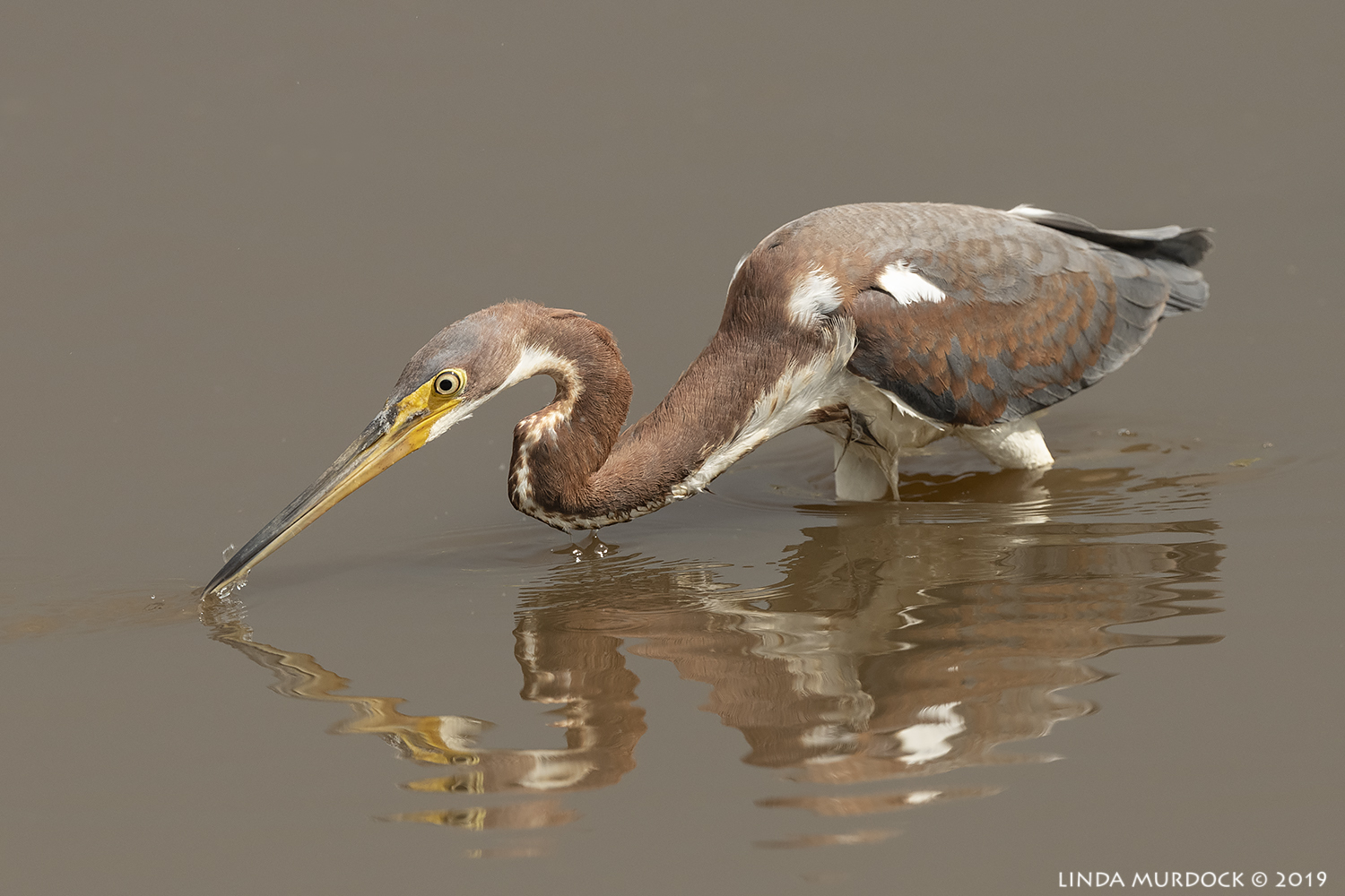 Juvenile Tricolored Heron  Nikon D850 with Nikkor 500 f/5.6 PF VR ~ 1/2500 sec f/6.3 ISO 640