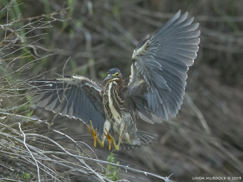 Juvenile Green Heron landing in the brush  Nikon D850 with Nikkor 500 f/5.6 PF VR ~ 1/2500 sec f/6.3 ISO 1600