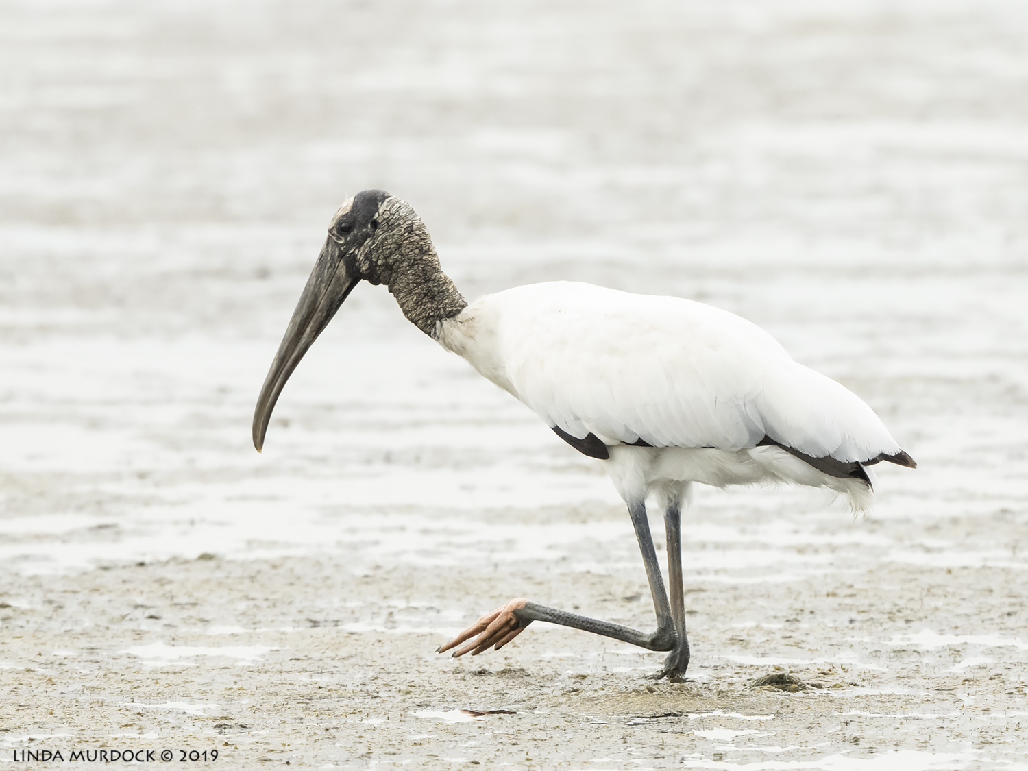 Adult Wood Stork showing you his pink foot  Nikon D850 with Nikkor 500 f/5.6 PF VR ~ 1/1600 sec f/6.3 ISO 1600