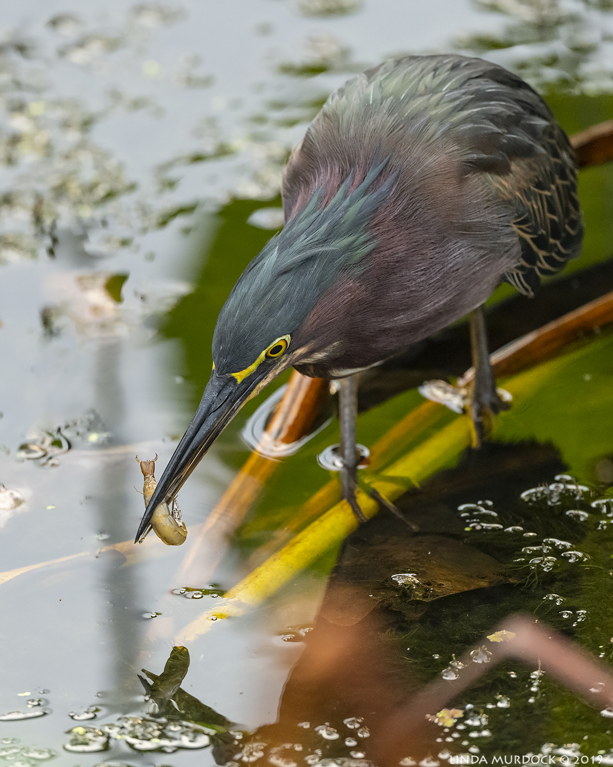 Green Heron with tasty treat Nikon D850 with Nikkor 500 f/5.6 PF VR ~ 1/640 sec f/5.6 ISO 2500; hand-held