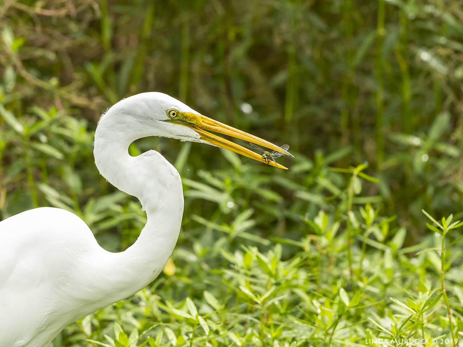 Great Egret with dragonfly  Nikon D850 with Nikkor 500 f/5.6 PF VR ~ 1/2000 sec f/6.3 ISO 1250; hand-held