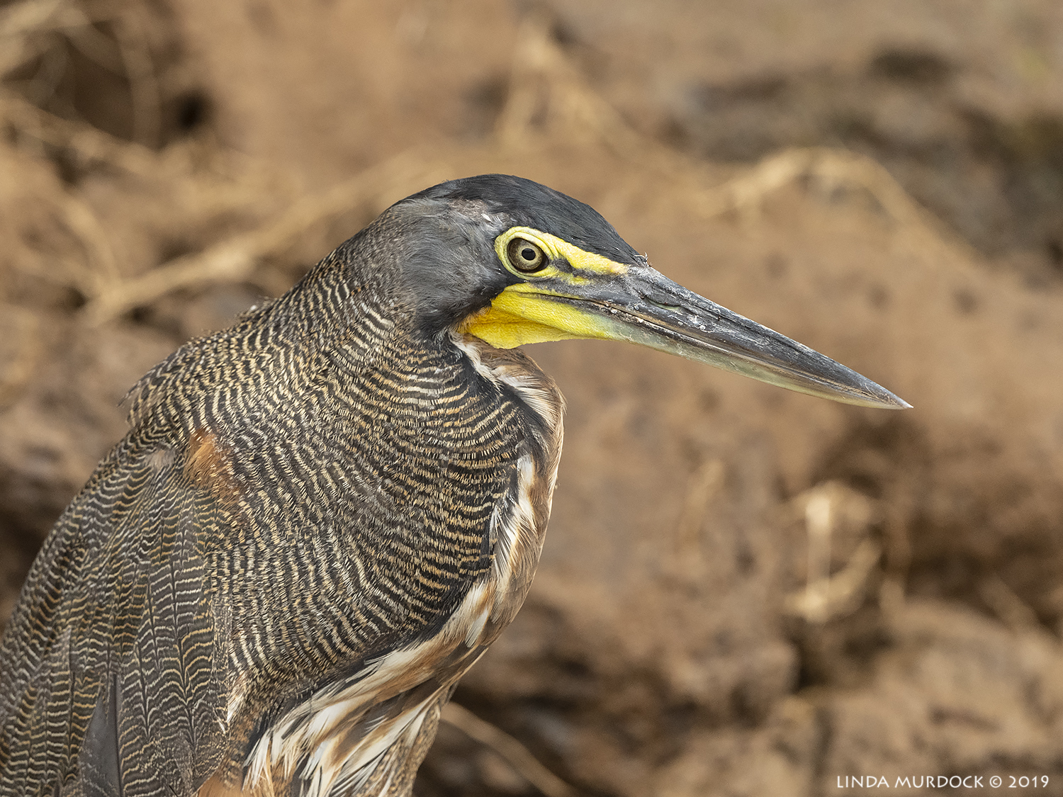 Adult Bare-throated Tiger Heron  Nikon D850 with Nikkor 500 f/5.6 PF ~ 1/2000 sec f/5.6 ISO 1000