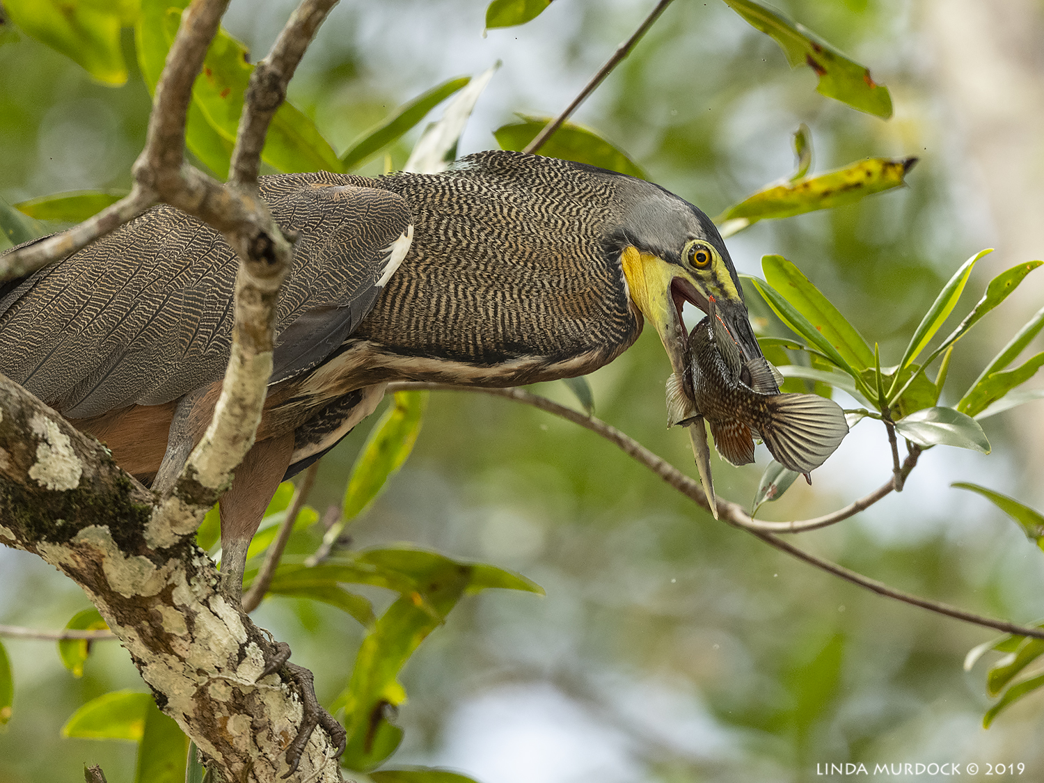 Bare-throated Tiger Heron with fish…  Nikon D850 with Nikkor 500 f/5.6 PF ~ 1/1250 sec f/6.3 ISO 1250