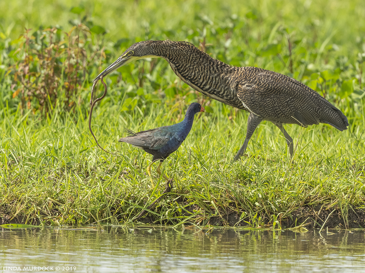 Bare-throated Tiger Heron with snake Nikon D850 with Nikkor 500 f/5.6 PF ~ 1/2000 sec f/6.3 ISO 640