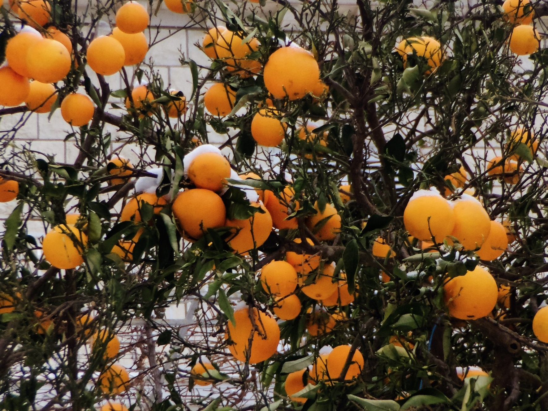 Oranges with a snow hat