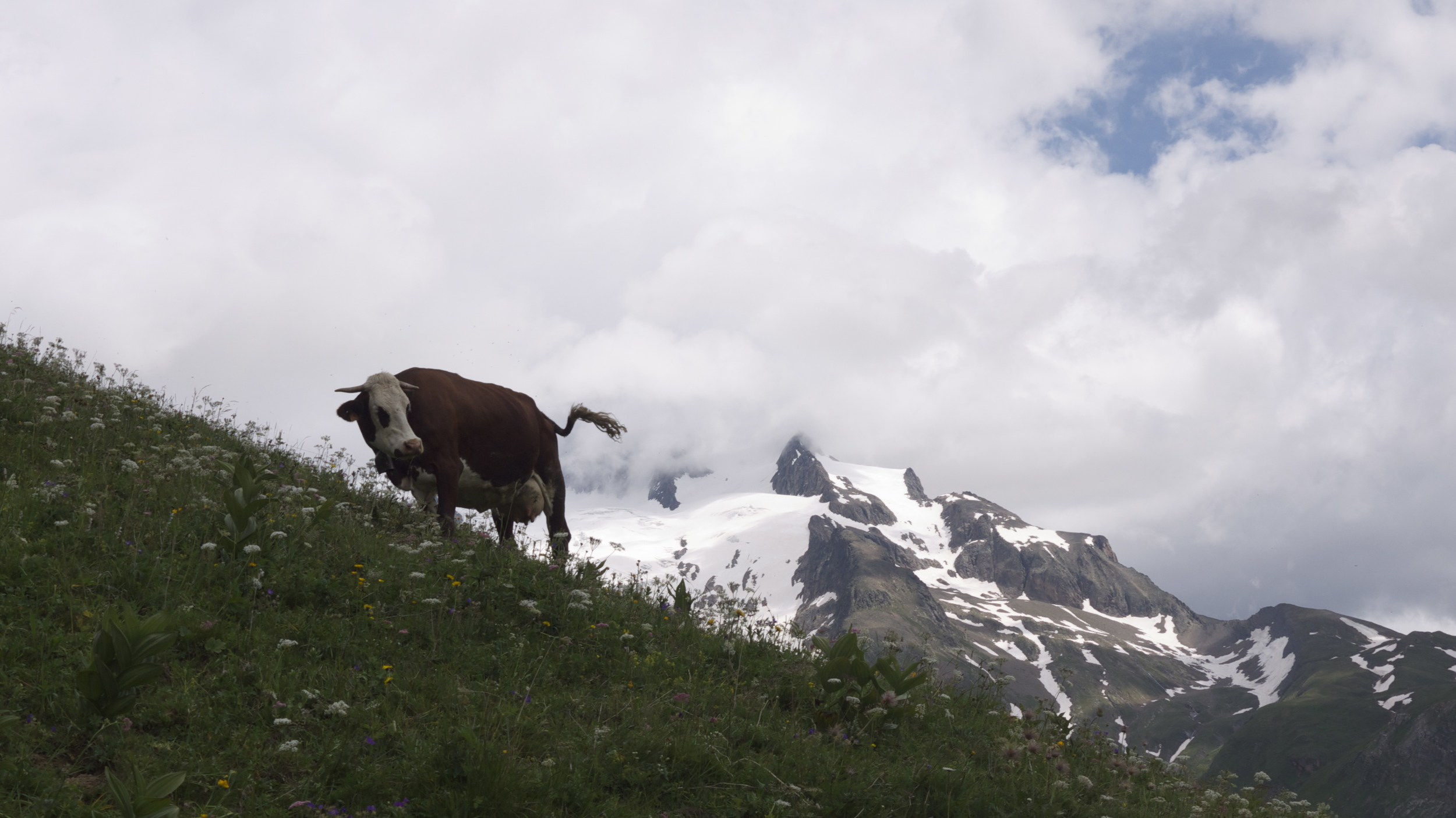 Dairy cows roam some meadows, their big traditional bells ringing over the alp.