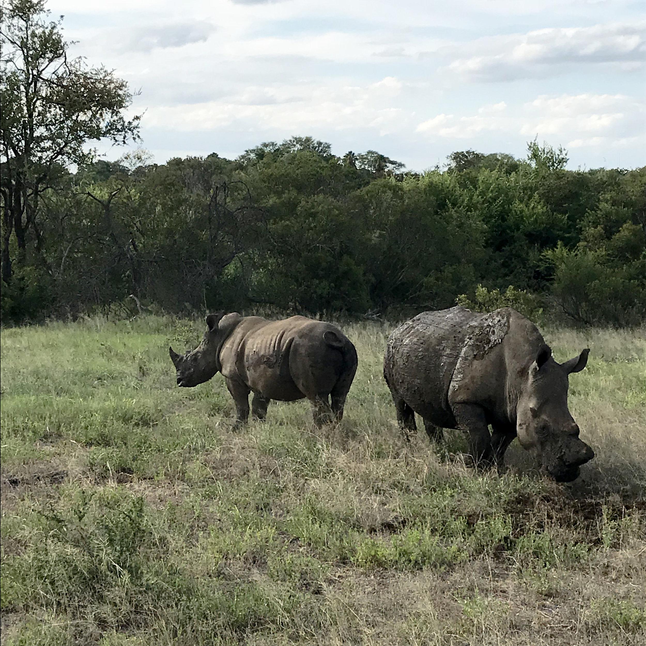 Rhinos at Karongwe