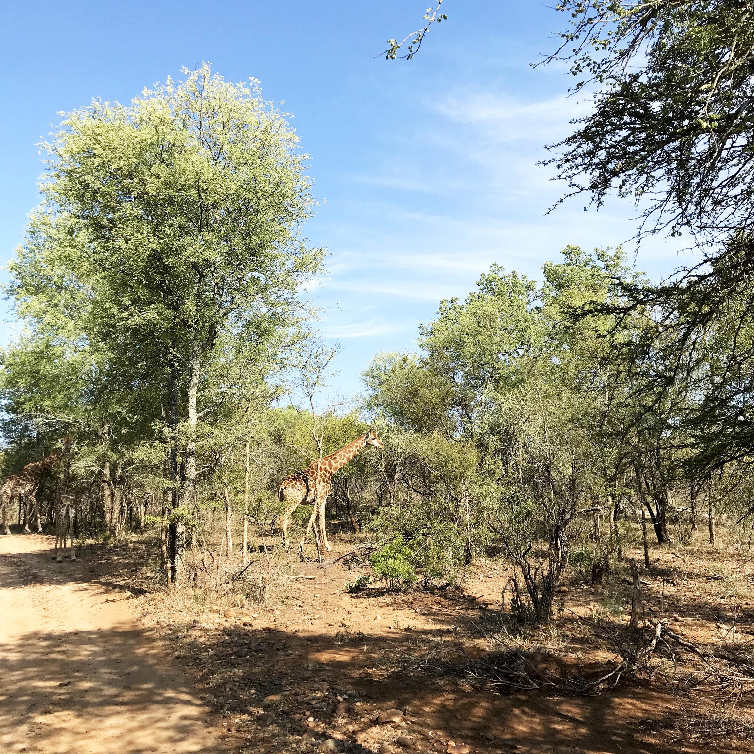 Giraffe at Karongwe