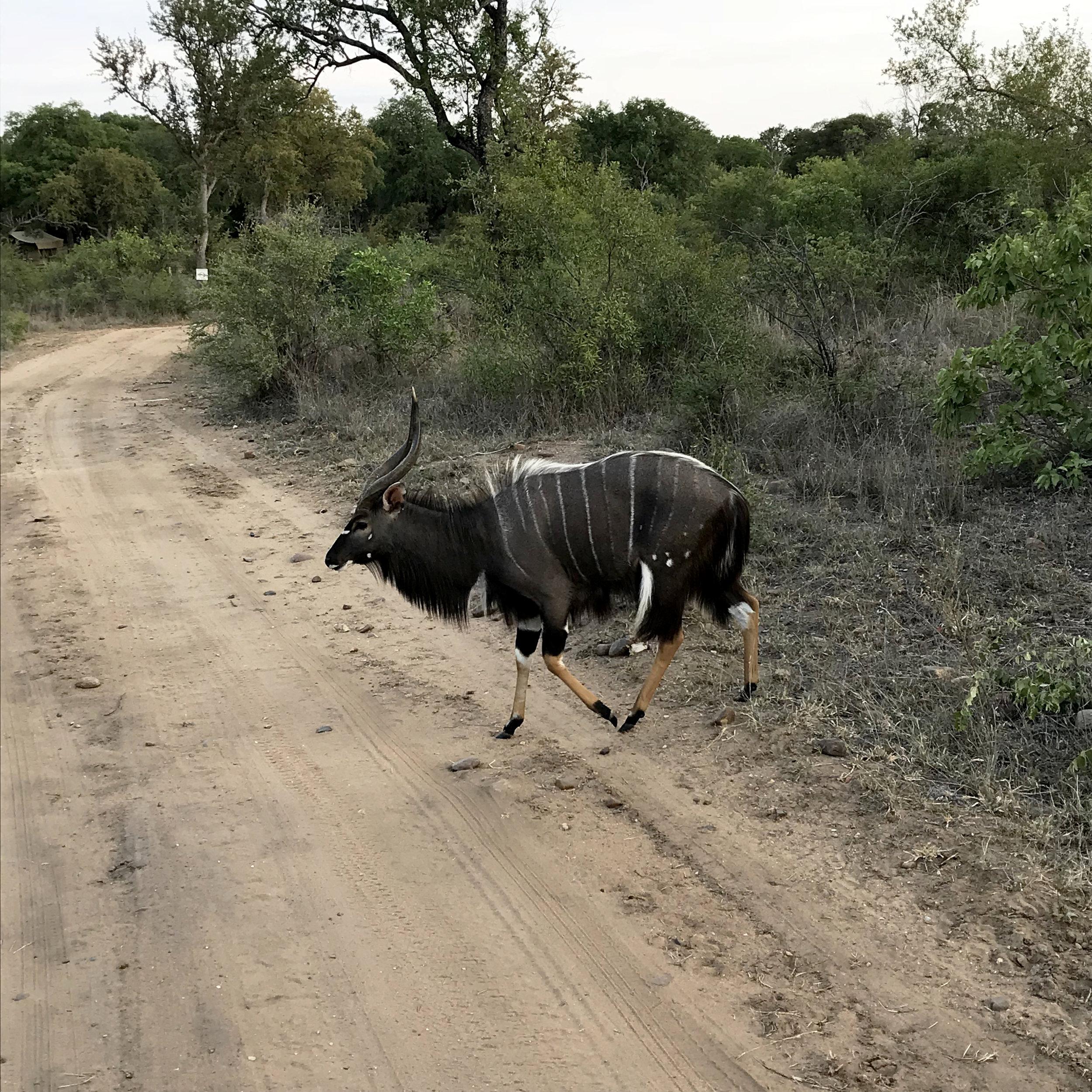 Nyala at Karongwe