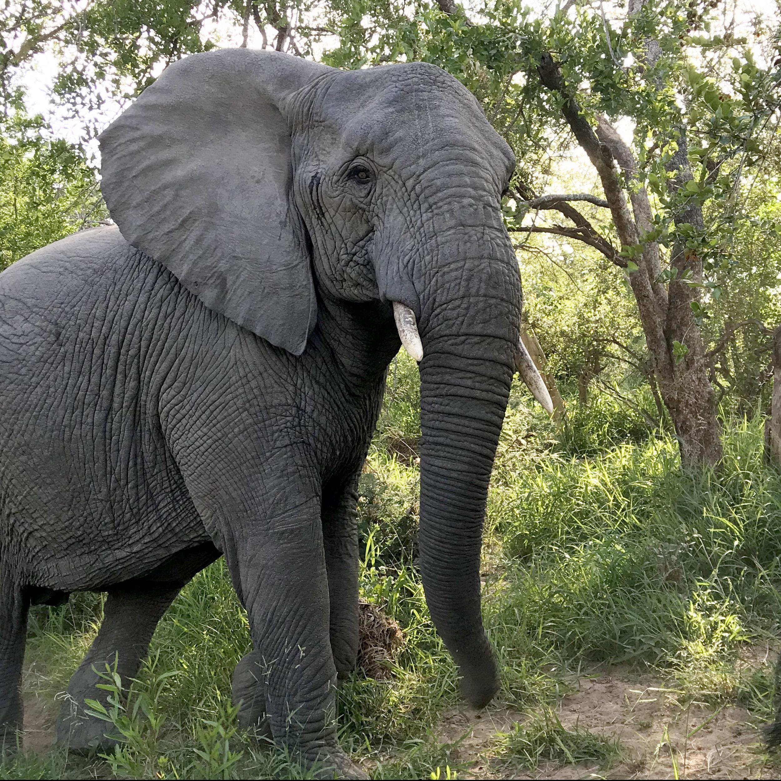 Elephant at Karongwe