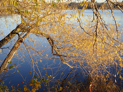 golden leaves of black willow over water