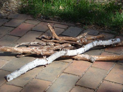 windfall white birch branches