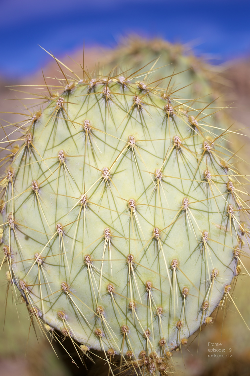 Joshua Tree - Local cactus