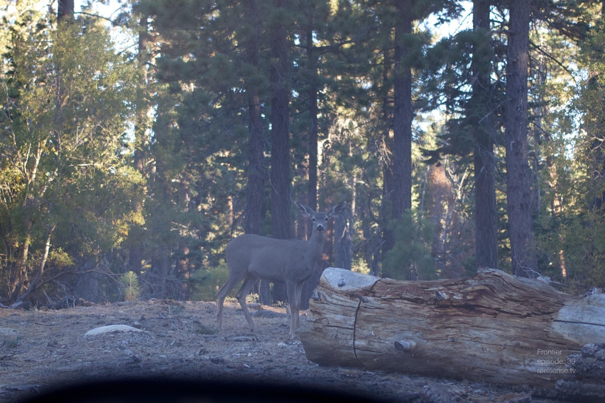 Big Bear, CA - Friendly Deer