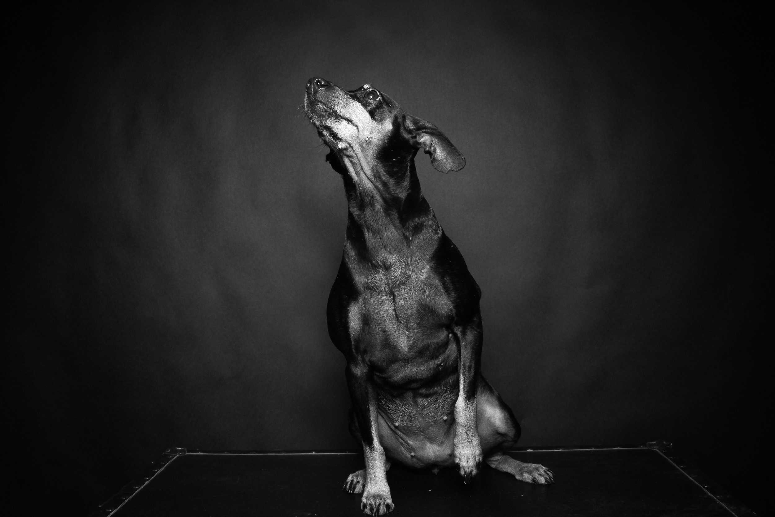 Portrait of a Manchester Terrier.