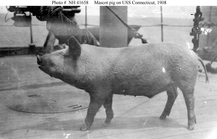 Pig mascot of USS  Connecticut , circa 1908.