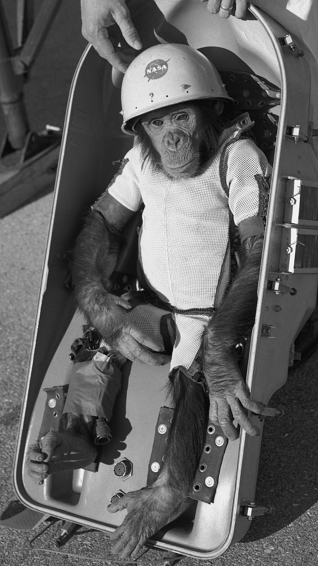 Ham the chimp, prior to his test flight in January 1961.