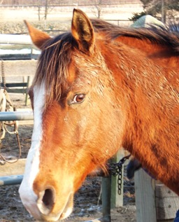 I am a 15-hand, bay Quarter Horse gelding. I am  very friendly. I can be counted on to do well eventing at Beginner  Novice level. I like dressage and the dressage judges like me. I am very  steady.   I am not eager to race around the cross-country  course, although I always jump the jumps — why hurry when you can just  lope along and see the sights?! I enjoy being outside the ring for trail  rides and hunter paces.