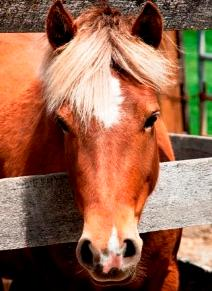 I am a chestnut Shetland-cross mare of only 11.2-hands. I am a baby, so  right now the more experienced riders are teaching me the ropes!