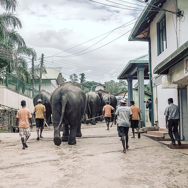 #elephant #parade #srilanka #ceylon #indianocean #travelphotography #sonyrx1 #surftrip #thesearch #gonesurfing #neverstopexploring #nature #landscape #intothewild #paradise #adventure #travel #traveler #farawayfromhome #beautifuldestinations #asia #streetphotography #walkingelephant #picoftheday #bigassbooty #sexybooty