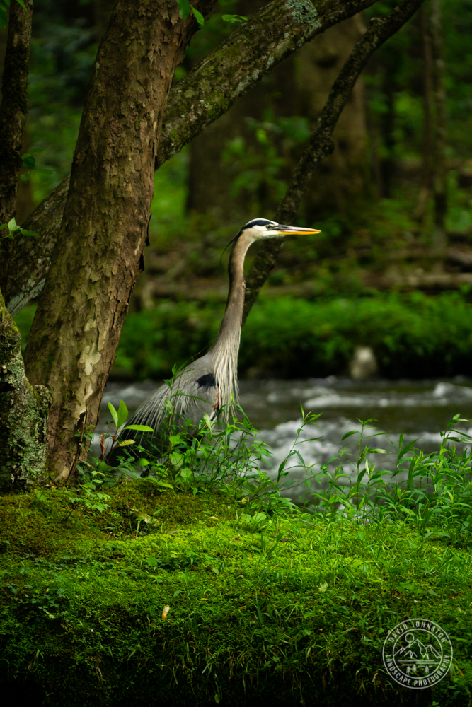 A blue heron searching for food in Great Smoky Mountains National Park