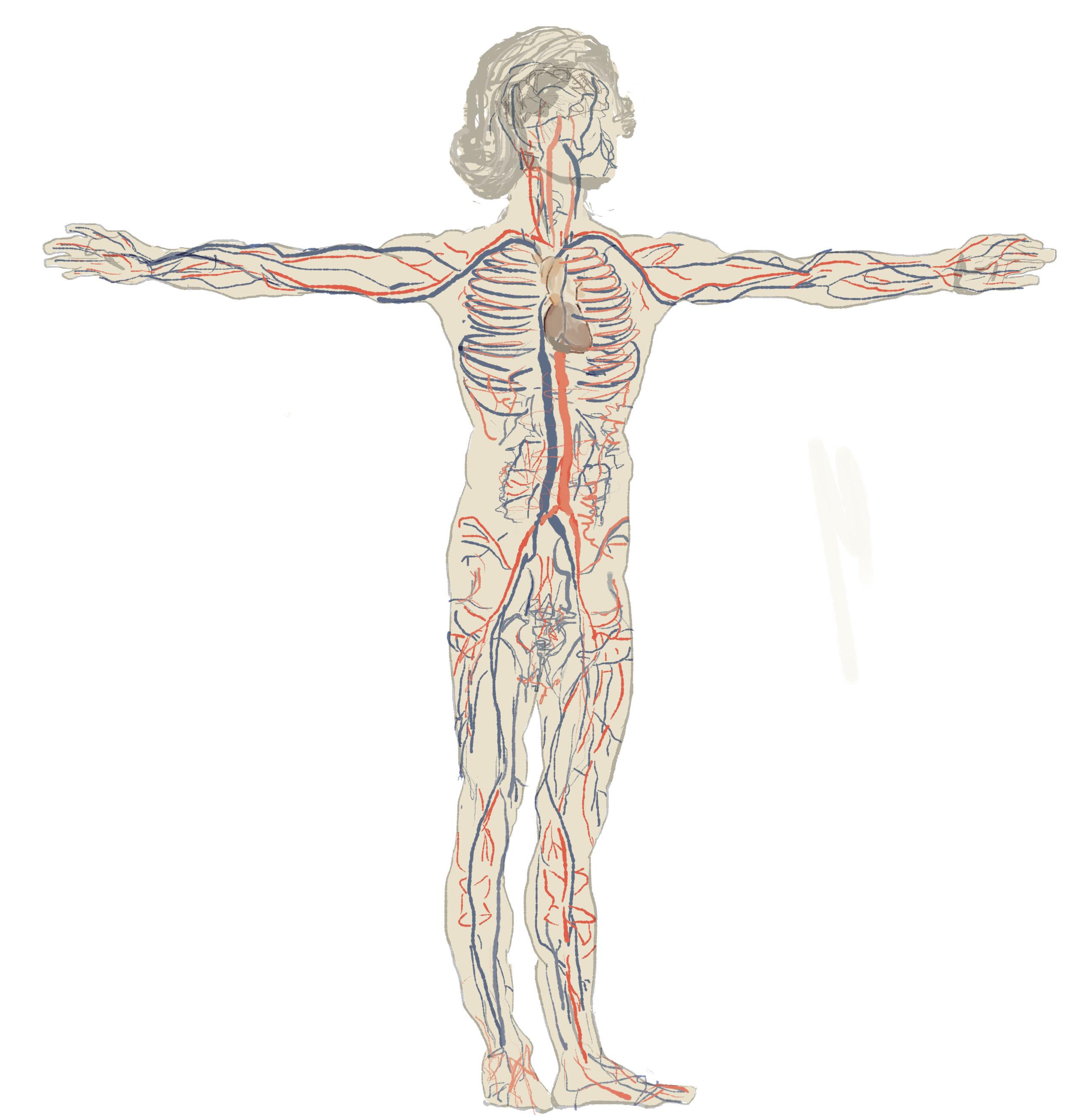 Vitruvian-Man-circulatory.jpg