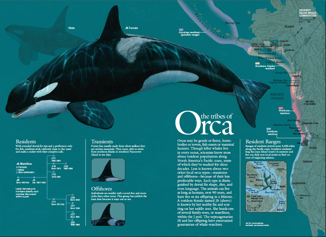 Killer Whales, article for National Geographic