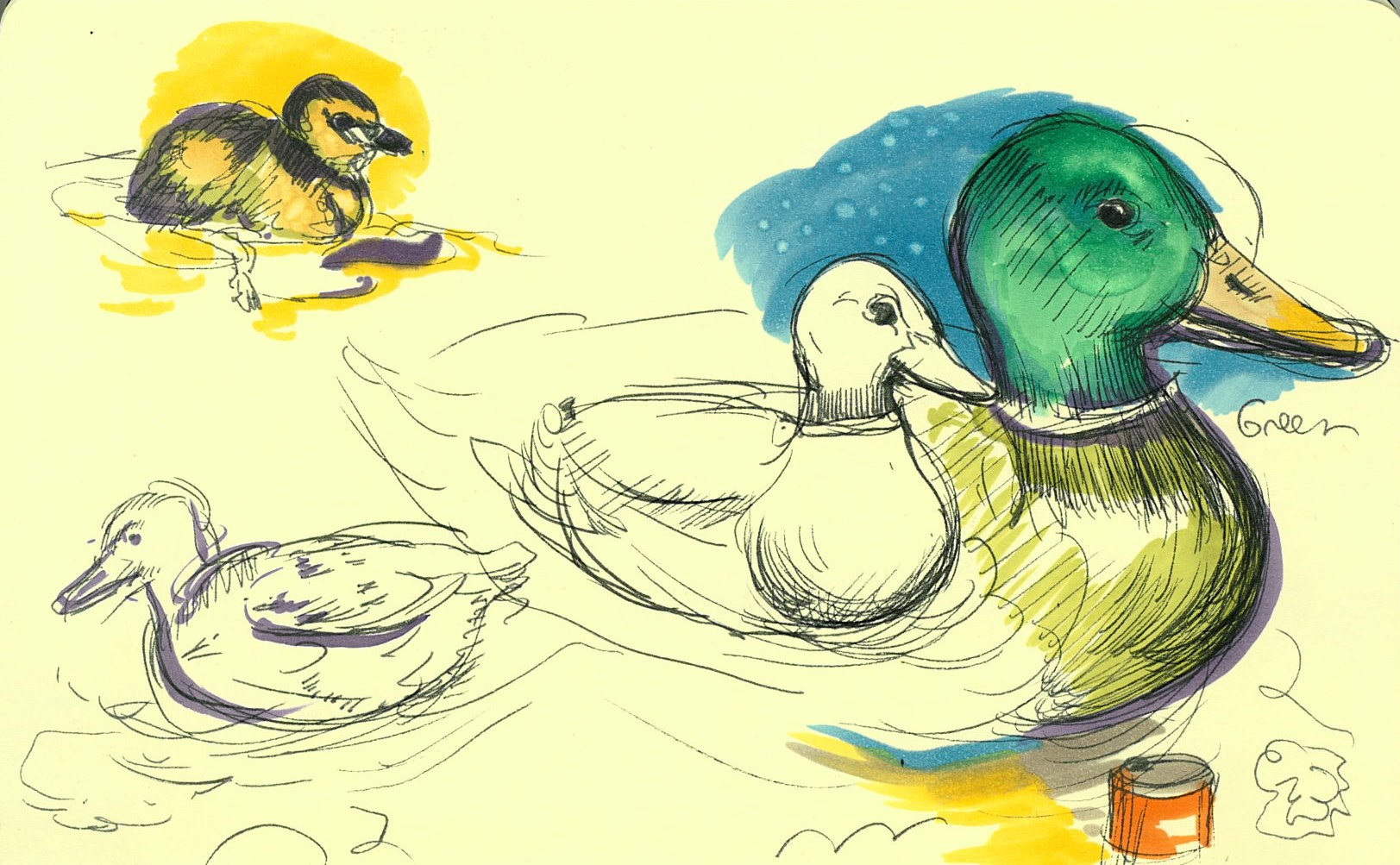 I drew some mallards that swim in the local rivers to practice my live-drawing session.