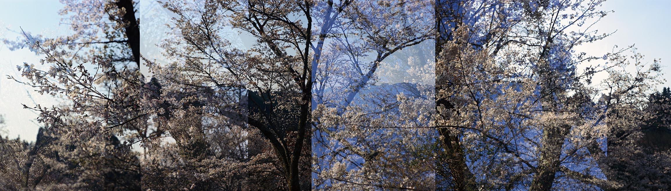 Sakura No. 6