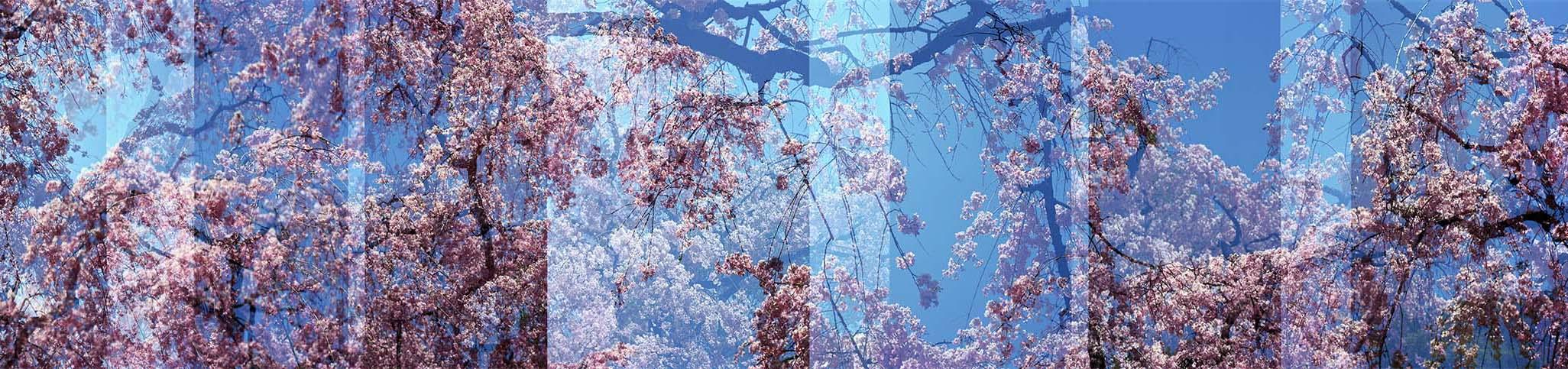 Sakura No. 15
