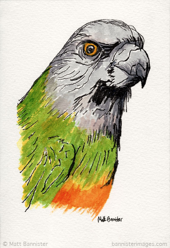 painting of a senegal parakeet