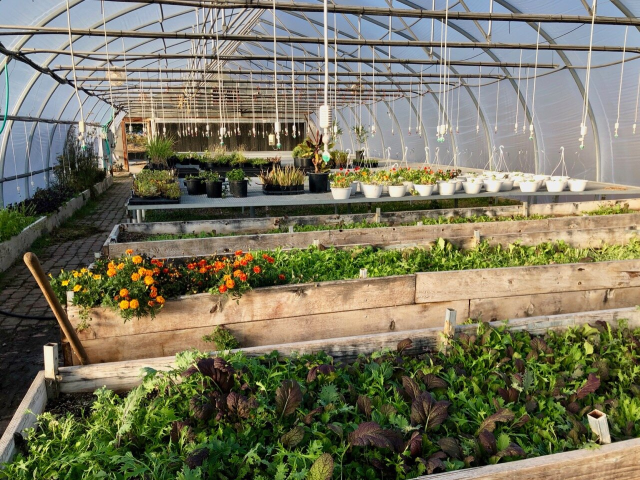 View inside a greenhouse with rows of plants and sprinklers above