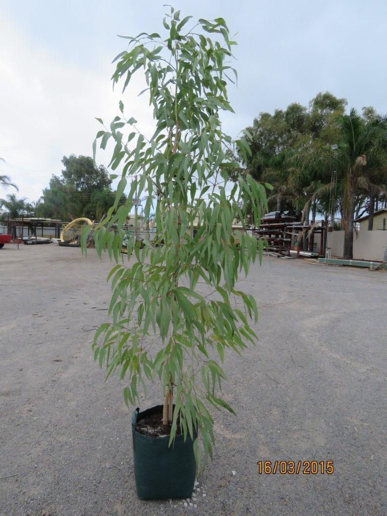 Photography by Stan Maley: The Wish Tree [Eucalyptus victrix, Murchison Coolibah, Jilgu]