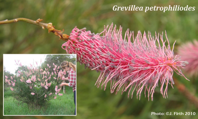 Grevillea petrophiliodes