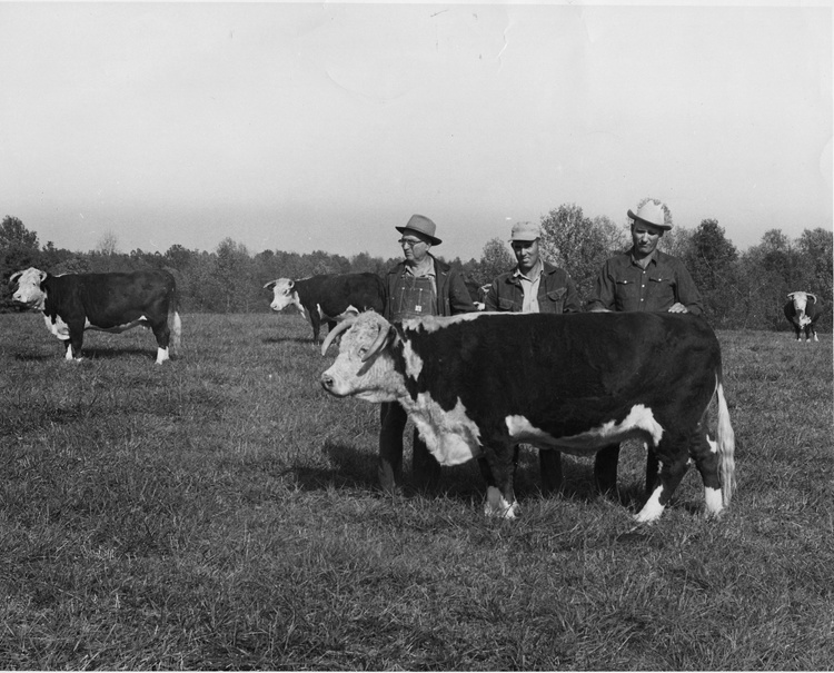 V.H. Coley and sons, Clyde and Dee, with Hereford cow