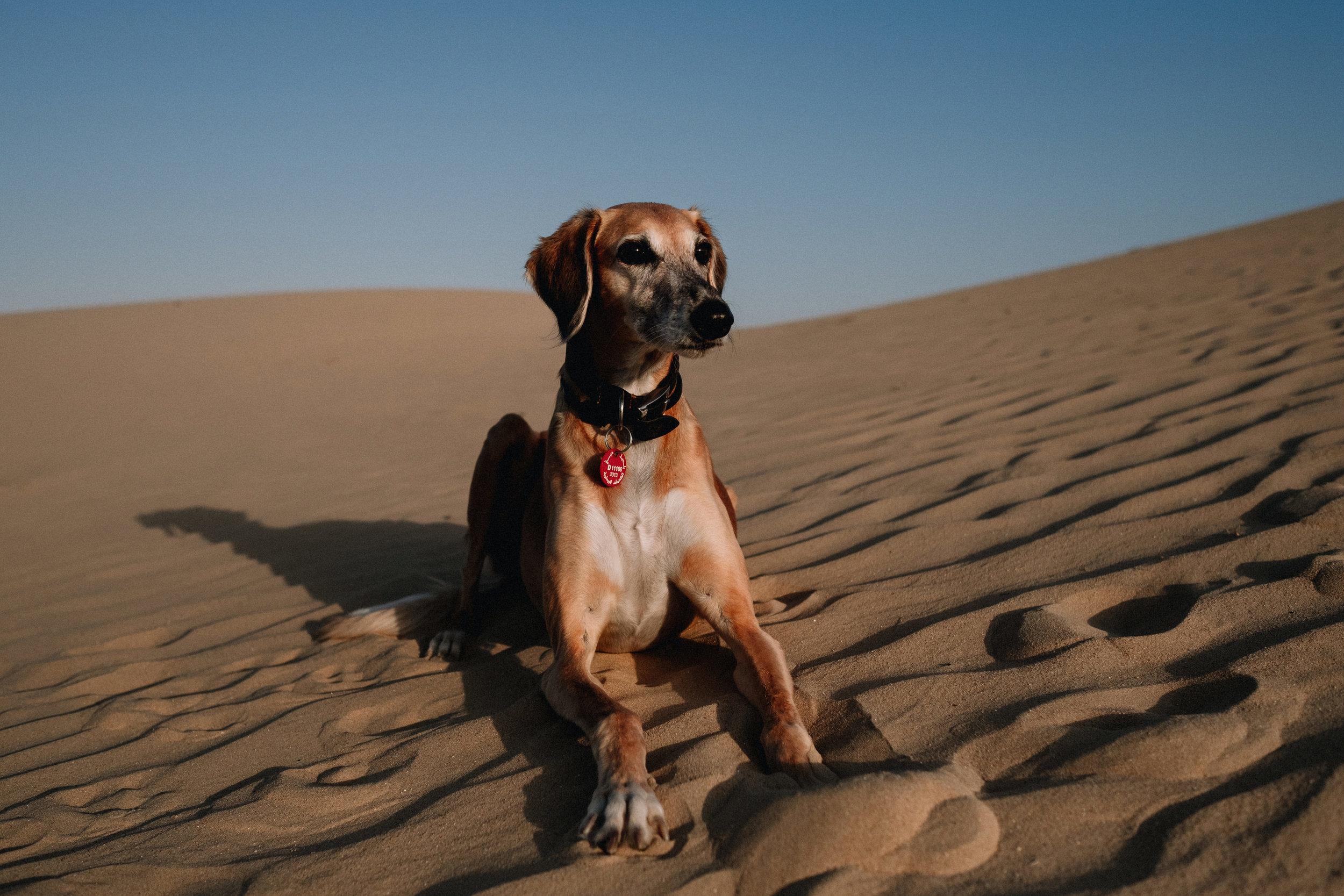 Saluki sitting proudly on a sand dune