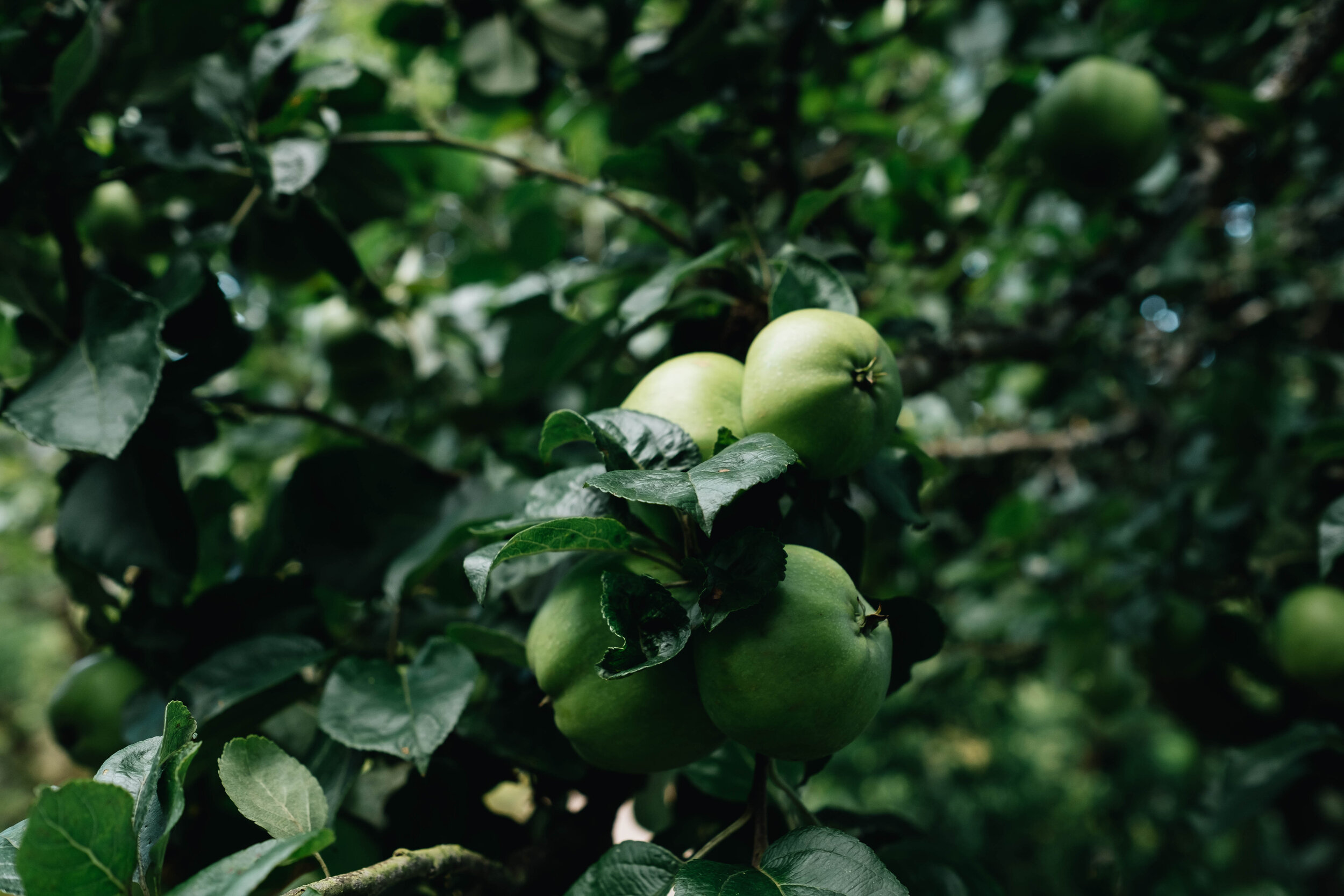 A close up shot of apples growing on the tree of Cambo Country House Estate.