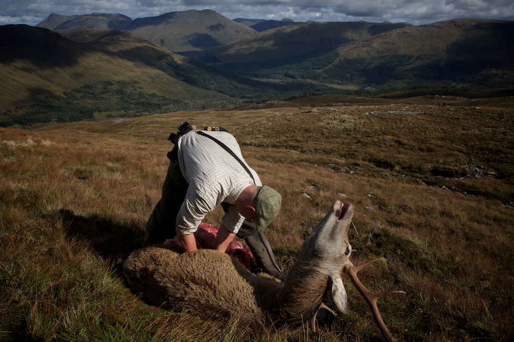 The gralloch - gutting the deer is done on the hill to preserve the quality of the meat for longer and to make the load lighter. Eagles and ravens are often seen. Whenever a shot is fired on the hill with Mark, is is extremely common for a golden eagle to make a very low flyby to see what has happened.
