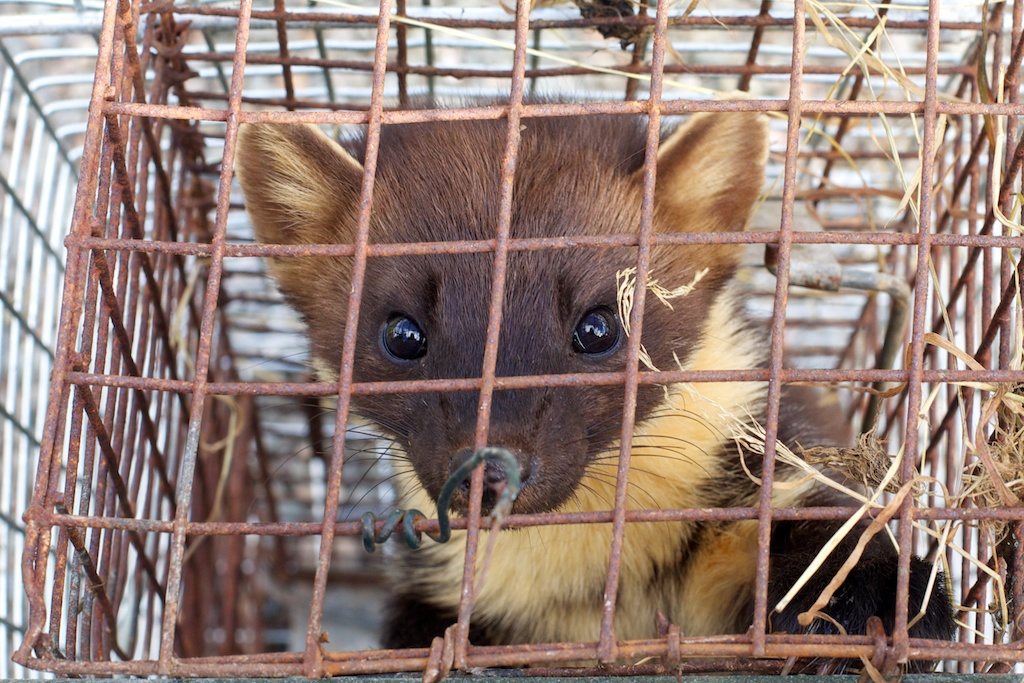 This pine marten was caught during my stay in Scotland making my Game project.