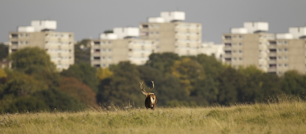 Red deer stag in front of the high rise buildings that border Richmond Park.