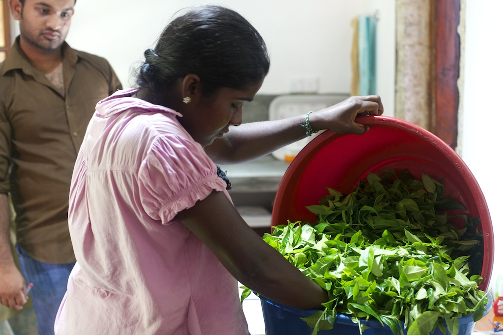 Thilakawathy's picking, as with all processes at Amba, is weighed and recorded, to monitor picking performance, and to keep a close eye on all variables.