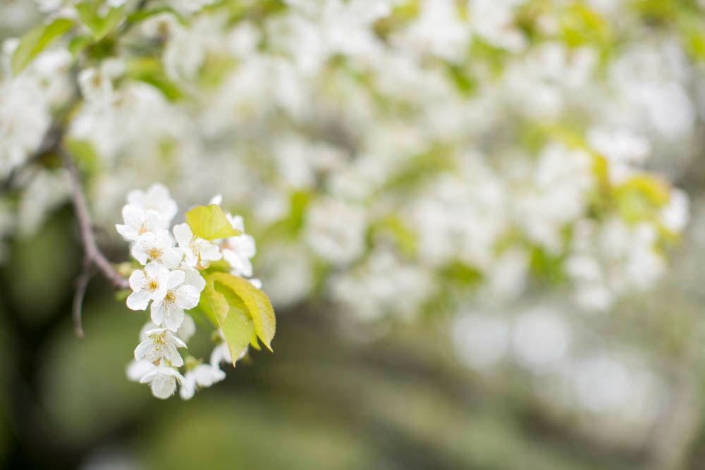 Cherry-blossom-engagement-session-niagara-on-the-lake-spring-photo-by-philosophy-studios-eva-derrick-photography-005.jpg