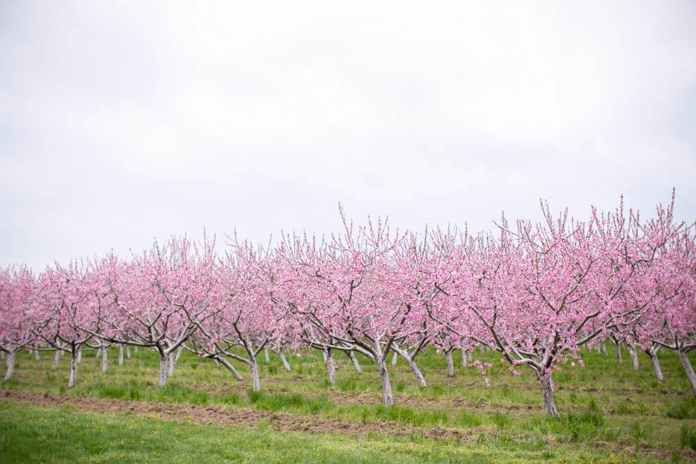 Cherry-blossom-engagement-session-niagara-on-the-lake-spring-photo-by-philosophy-studios-eva-derrick-photography-011.jpg