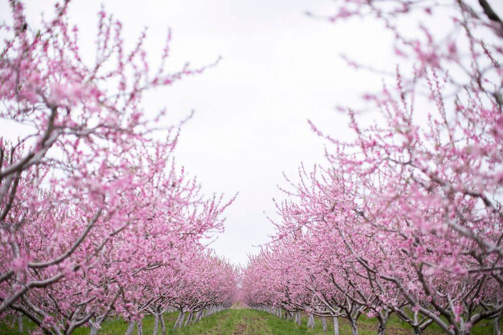 Cherry-blossom-engagement-session-niagara-on-the-lake-spring-photo-by-philosophy-studios-eva-derrick-photography-012.jpg