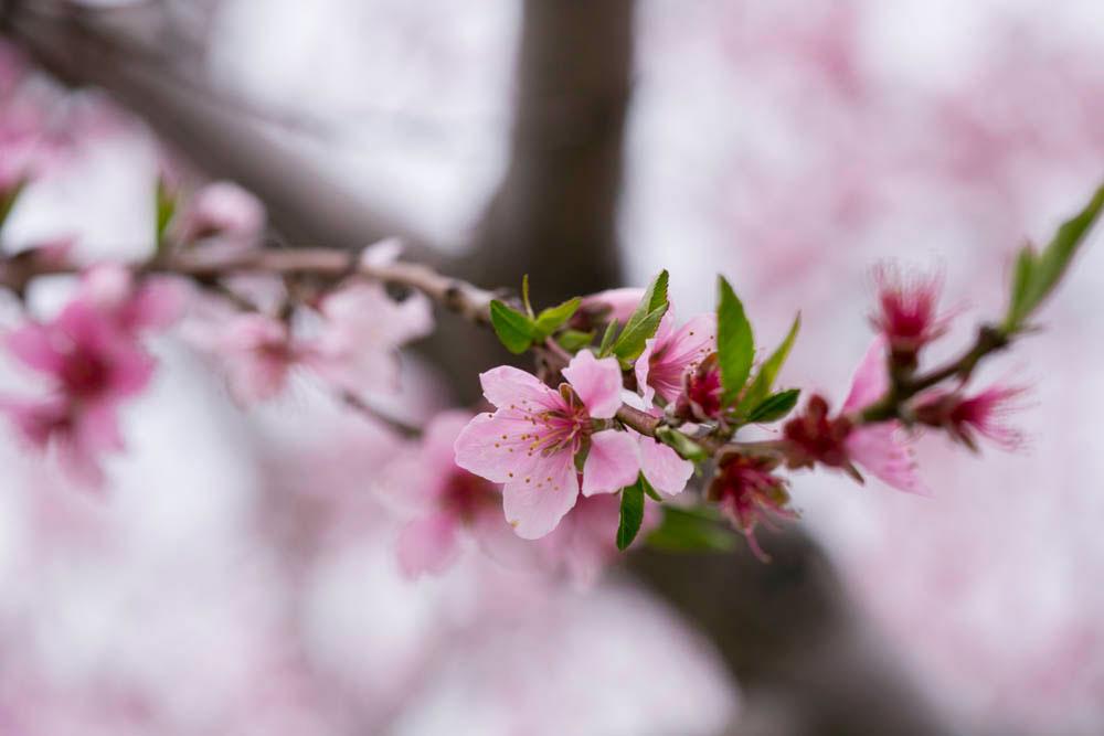 Cherry-blossom-engagement-session-niagara-on-the-lake-spring-photo-by-philosophy-studios-eva-derrick-photography-019.jpg