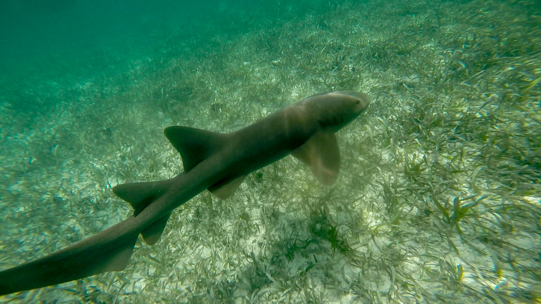 Snorkling Caye Caulker shark 5-2.jpg