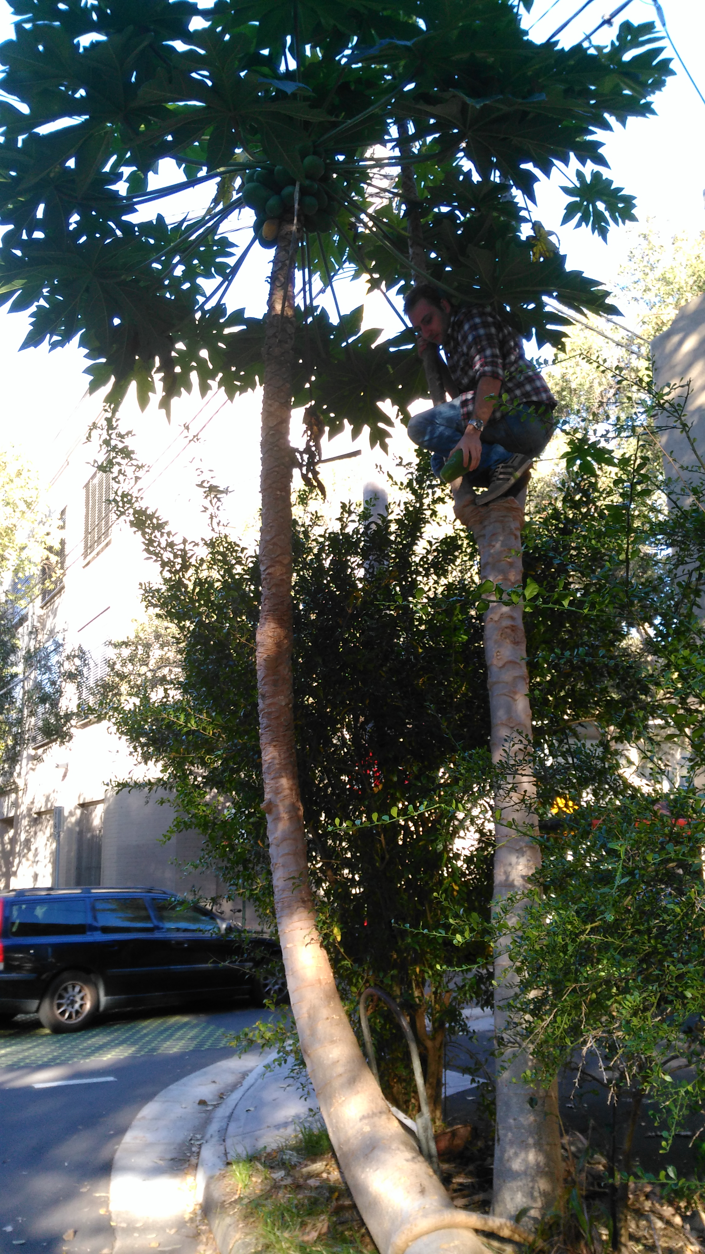 Vince getting papayas from the tree on Myrtle st