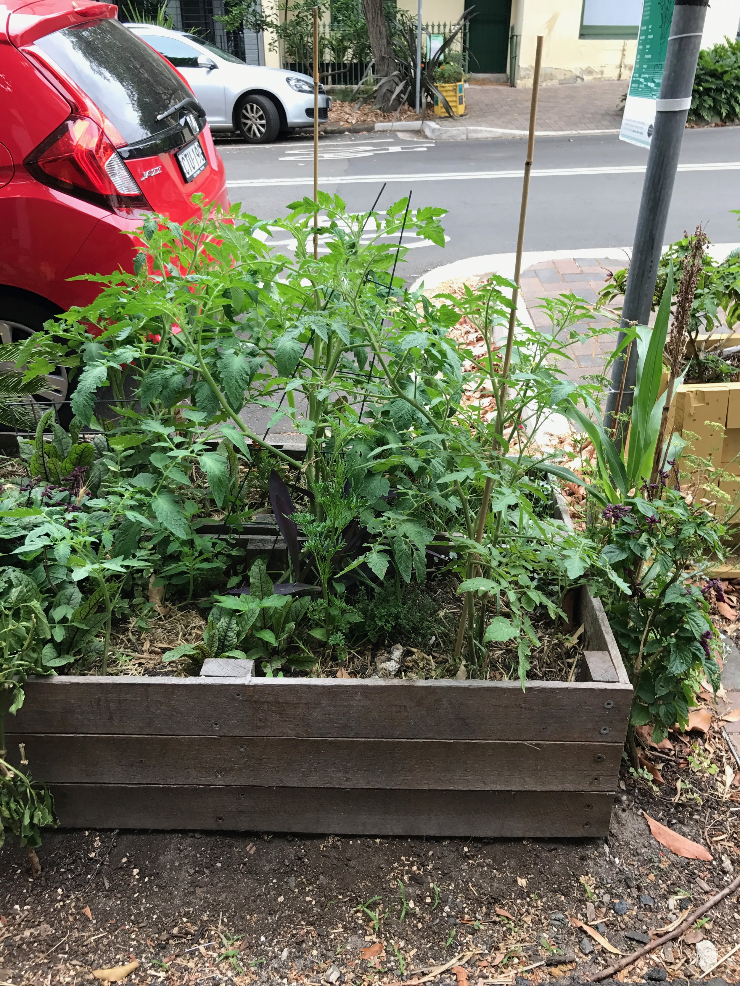 Transplanted Tomato Plants into Garden Beds