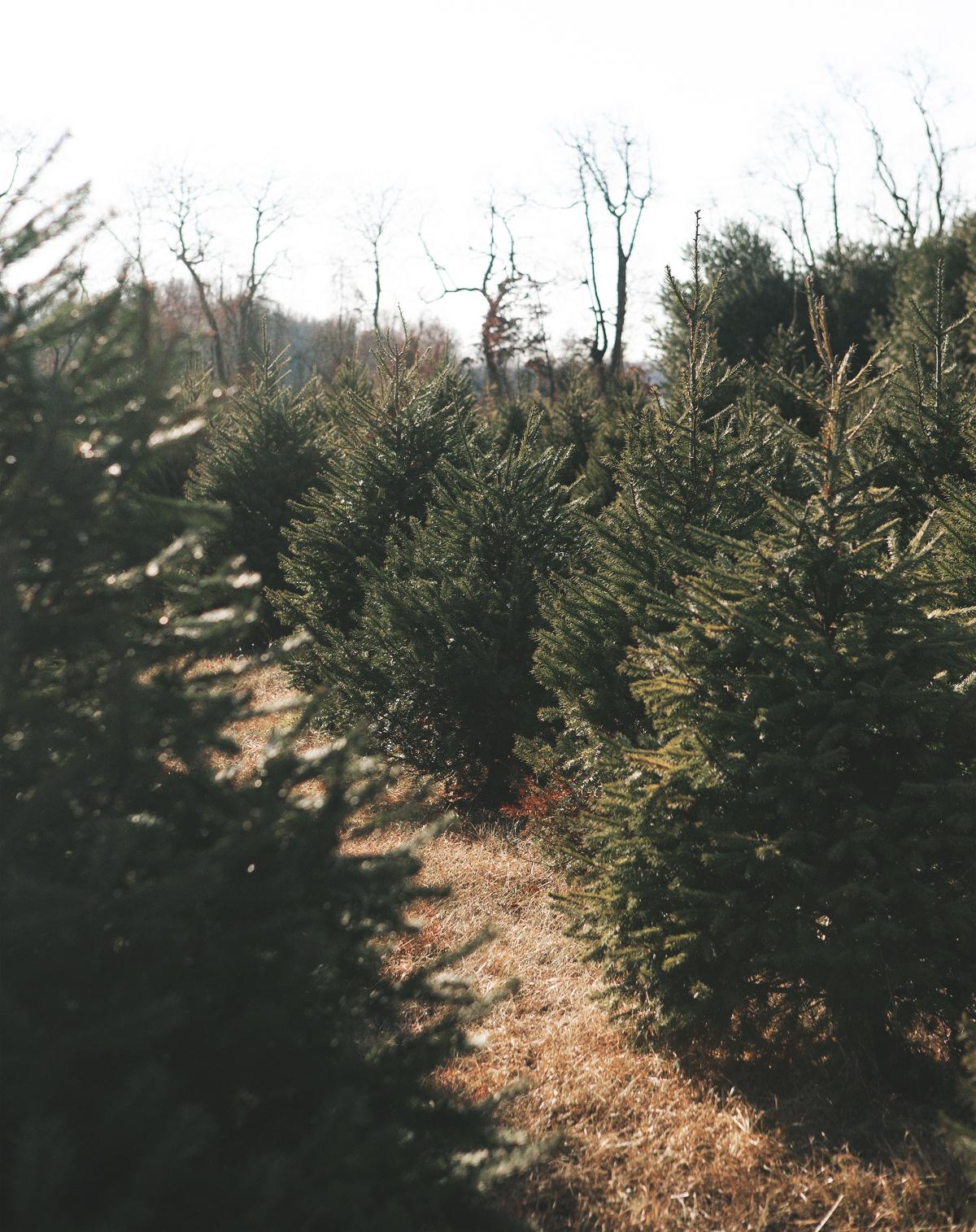 christmas-tree-hunting_12.jpg